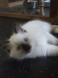 s220951960 Ragdoll Cat Forum